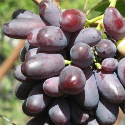 Виноград изюминка описание сорта фото