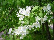 Harkov jabolčni cvet pod zaveso poletja