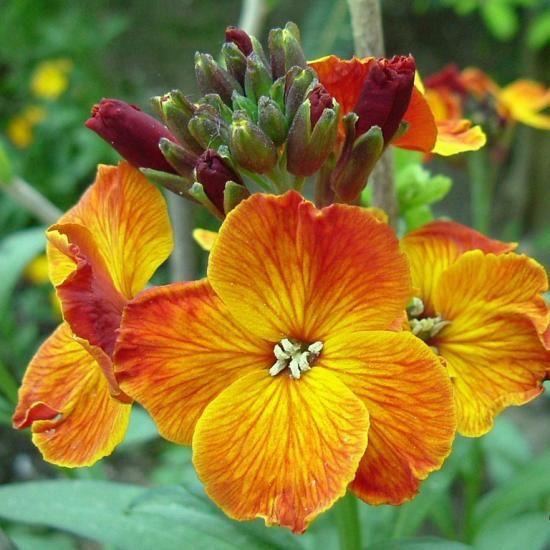 cvet heyrantus