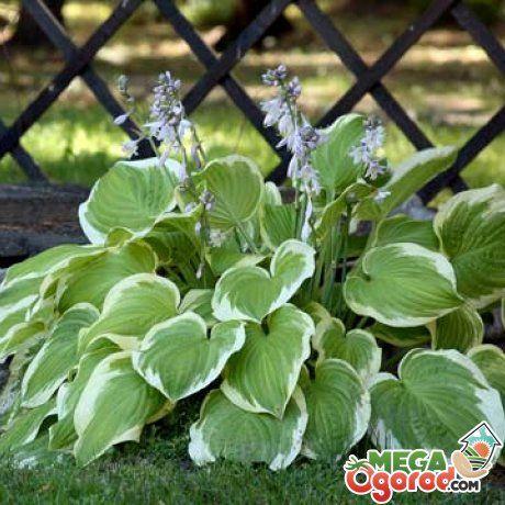 Хоста – модный элемент садового декора