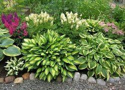 Хоста – растение для занятых дачников