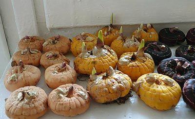 Хранения луковиц гладиолусов в золе