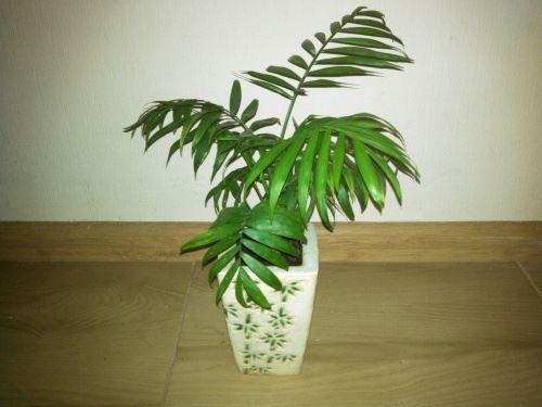 Хризалидокарпус - пальма арека