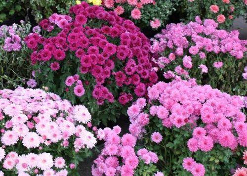 Хризантема садовая мелкоцветковая: посадка и уход