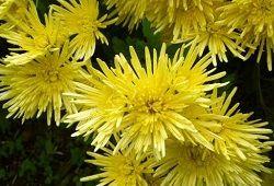 Chrysanthemum: floare gratioasa simbolism