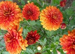 Хризантемы на садовом участке: посадка и уход