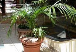 Hove de palmier