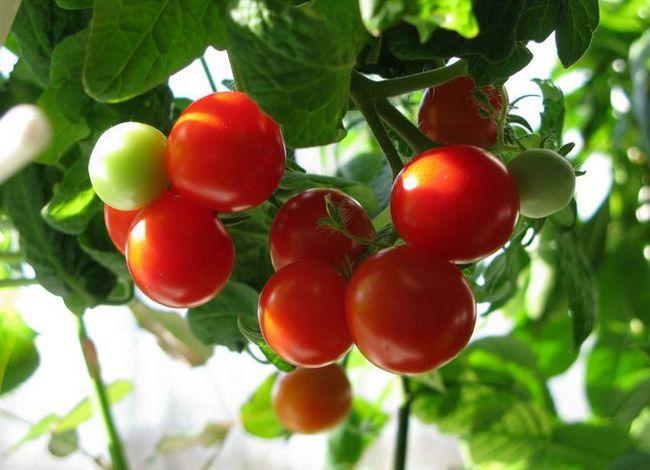Zanimiv način za rast sadik paradižnika brez zemlje