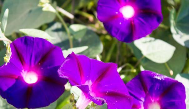 C koristeći Morning Glory, možete stvoriti pravi boja zavjesa