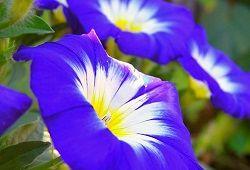 Ипомея пурпурная для балконов, террас и сада