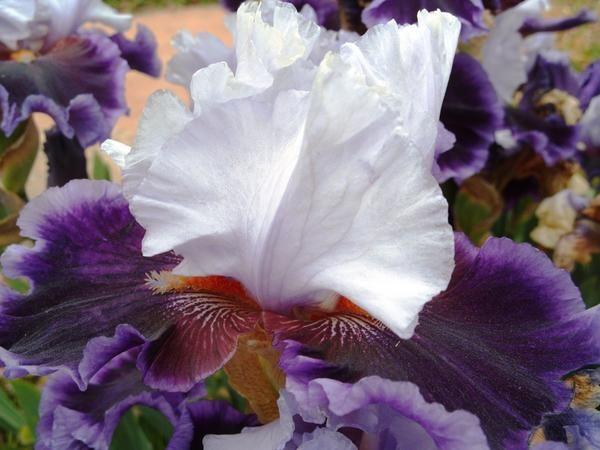 Bradati Iris sorta Aura luč