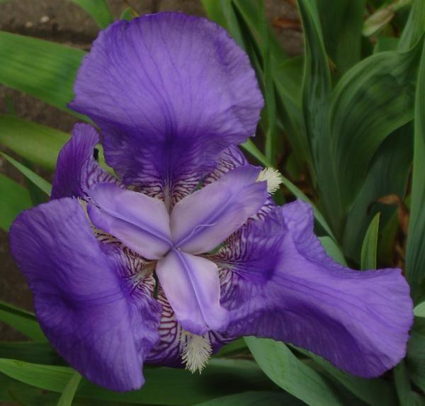nemški Iris