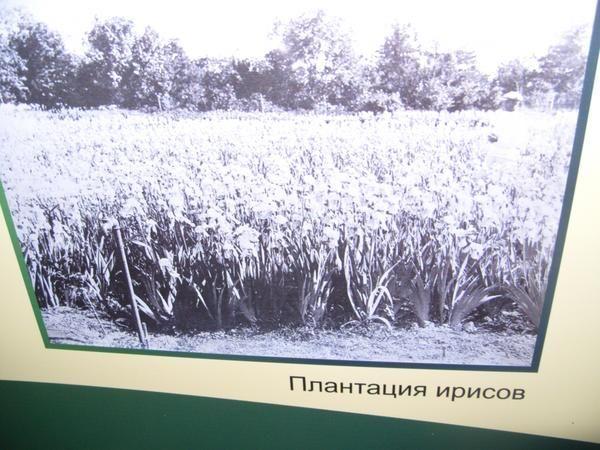 Plantation florentinski iris v Nikitsky botaničnem vrtu na začetku prejšnjega stoletja