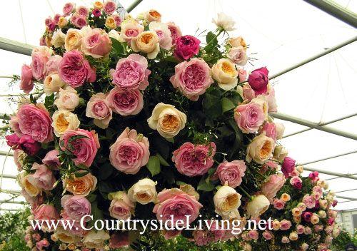 Zgodovina angleških vrtnic (ostinok)