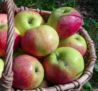Яблоня Орловим: яркие фото и полное описание по уходу и выращиванию сорта