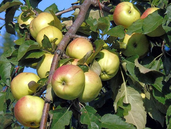 Карликовая яблоня Братчуд - родич Чудного