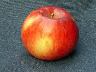 Яблоко сорта Память Ульянищева