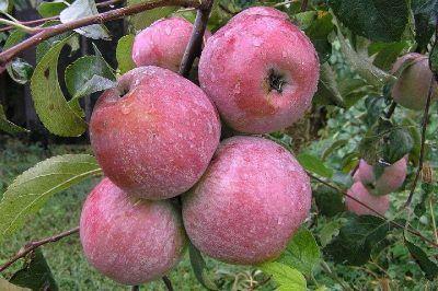 Ветвь с яблоками на яблоне сорта Память Ульянищева