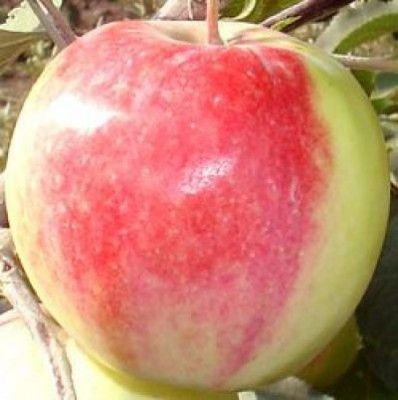 Подарок садоводам - яблочко
