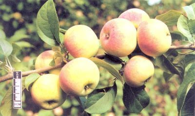 Подарок садоводам - яблоки на ветви данного сорта