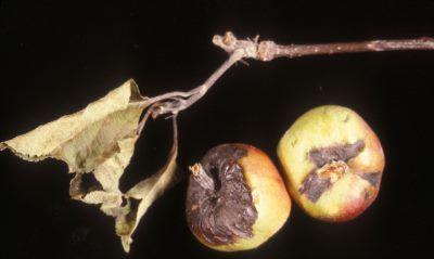 Erwinia amylovora на падает на яблони сотра Подарок садоводу