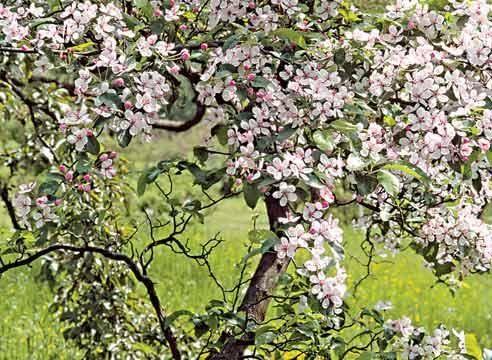 Яблоня, цветение