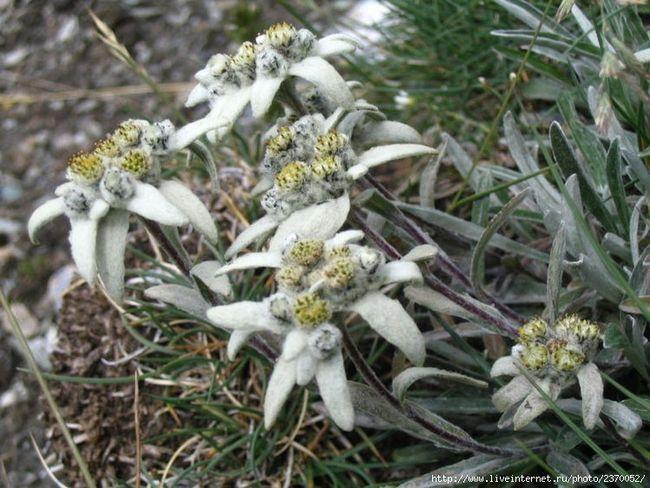Эдельвейс – волшебный горный цветок - цветочный портал Ваш Сад!