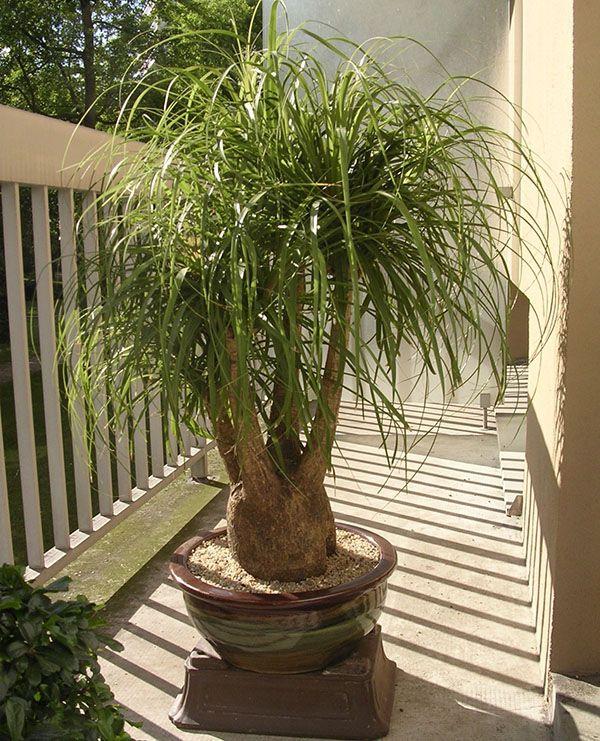 Eksotična rastlina bokarnei notranjost