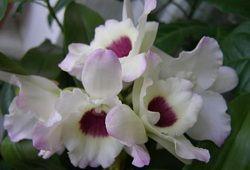 Экзотичный Дендробиум нобиле — орхидея с характером