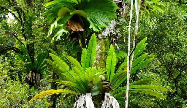 Епифити: Platitsirium голям (Platycerium Grande)