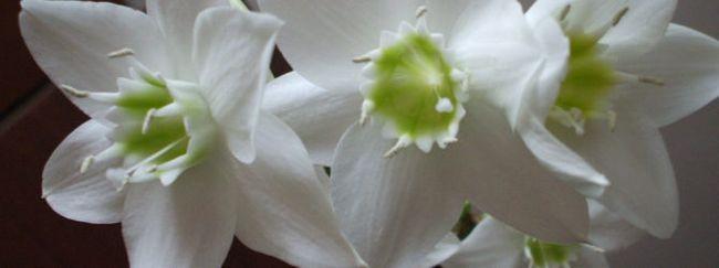 Эухарис: описание, размножение, уход, посадка, фото