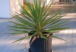 yucca soba