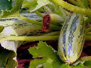 Растение кабачок