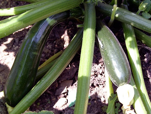 Как выращивать кабачки в саду
