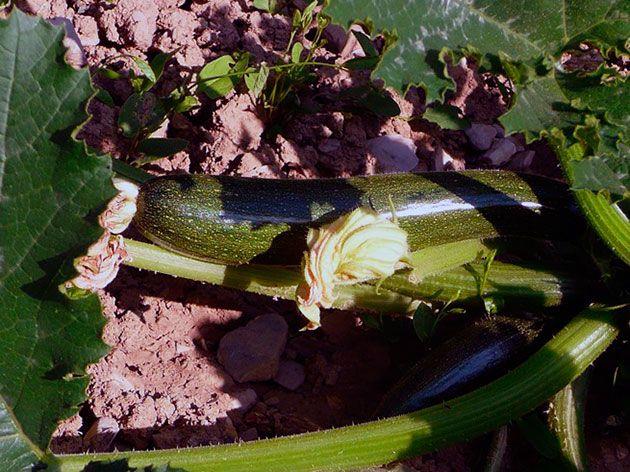 Выращивание рассады кабачков и уход за ней