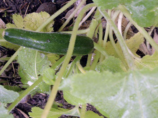 Овощ кабачков на кусте