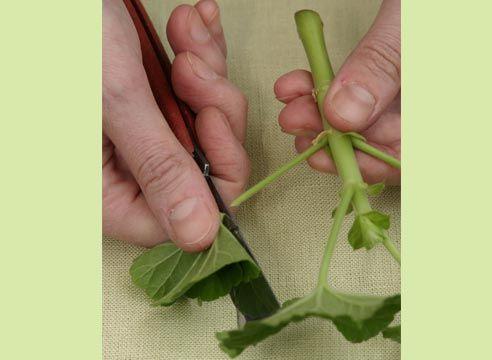 Pelargonium řízky
