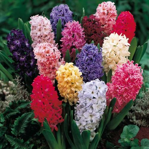 Как цветы гиацинты выращивают в разных условиях