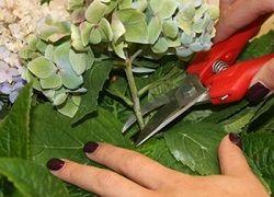 Kako pravilno trim vrt hortenzije?