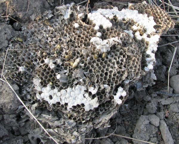 Остатки земляного осиного гнезда