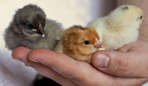 Дори и в еднодневни експерт домашни птици може да различи пола на пилета