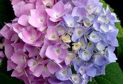 Kako organizirati skrb za hortenzije v domu?
