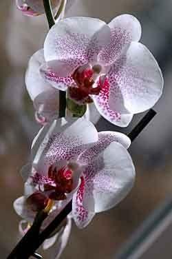Как орхидеи