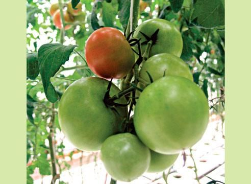 Paradižnik, zelena sadje