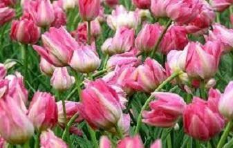 Sajenje in nega za tulipane