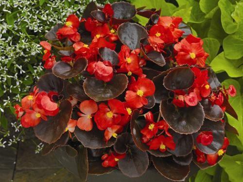 Kot presajenega Begonia - praktični nasveti