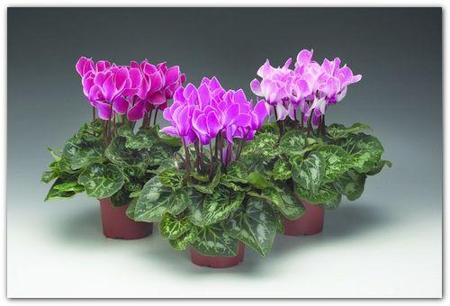 Kako razumeti, zakaj uvelosti Cyclamen: kako za shranjevanje rastlin