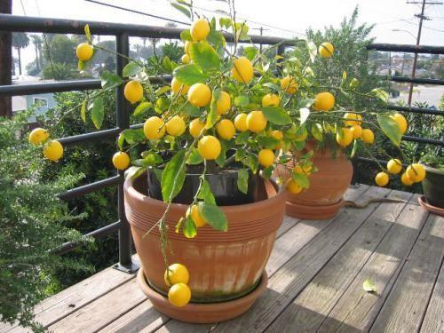 Лимонное дерево: трудности в уходе