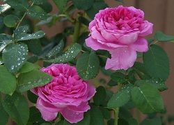 как посадить розы