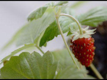 gojenje jagod